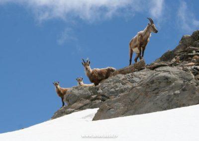 Un groupe de chamois à Pralognan-la-Vanoise
